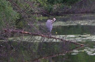 A Blue Heron on a Branch